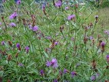 Detalle de una flor redonda del cardo Fotos de archivo libres de regalías