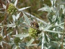 Detalle de una flor redonda del cardo Imagen de archivo