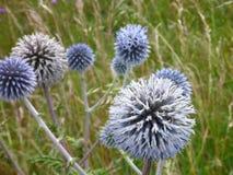 Detalle de una flor redonda del cardo Fotos de archivo