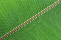 Detalle de una hoja del árbol de plátano imagenes de archivo
