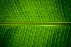 Detalle de una hoja del plátano Imagen de archivo libre de regalías