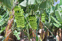 Detalle de una plantación de plátano en el La Palma Foto de archivo