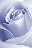 Detalle de una rosa Fotos de archivo libres de regalías