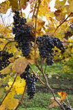 Detalle de uvas púrpuras en lagar, otoño Foto de archivo libre de regalías
