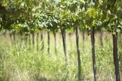 Detalle de viñedos en la Argentina Imagen de archivo libre de regalías