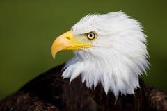 Detalle del águila Fotografía de archivo