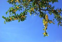Detalle del árbol de ciruelo Imagen de archivo