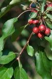 Detalle del árbol de Crabapple foto de archivo libre de regalías