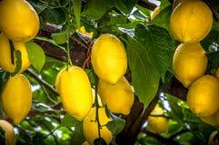 Detalle del árbol de limón Fotografía de archivo libre de regalías
