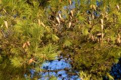 Detalle del árbol de pino Imagen de archivo