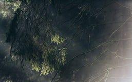 Detalle del árbol de pino con los rayos de la luz del sol en niebla imagen de archivo libre de regalías