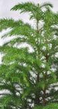 Detalle del árbol de pino de Norfolk Fotografía de archivo libre de regalías
