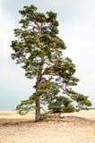 Detalle del árbol en Hoge Veluwe Holanda Foto de archivo libre de regalías