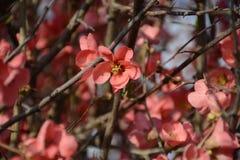 Detalle del árbol floreciente en alguna parte en Grecia Fotos de archivo