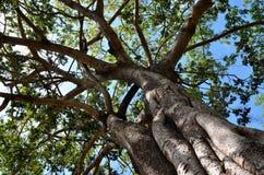 Detalle del árbol tropical hacia el cielo, Srí Lanka fotografía de archivo libre de regalías