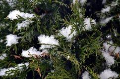 Detalle del árbol y de agujas nevosos Imagen de archivo libre de regalías