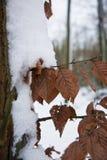 Detalle del árbol y hojas cubiertas con nieve en invierno Fotos de archivo