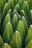 Detalle del agavo de la reina Victoria de los victoriae-reginae del agavo, agavo real, una pequeña especie de planta suculenta co imágenes de archivo libres de regalías