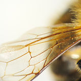 Detalle del ala de la abeja Imagen de archivo