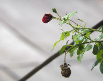 Detalle del arbusto de rosas rojas como fondo floral Ciérrese encima de la opinión rosas rojas en el Cáucaso azerbaijan Foto de archivo libre de regalías