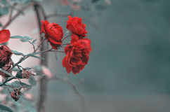 Detalle del arbusto de rosas rojas como fondo floral Ciérrese encima de la opinión rosas rojas en el Cáucaso azerbaijan Fotografía de archivo libre de regalías