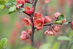 Detalle del arbusto del japonica del Chaenomeles Fotos de archivo libres de regalías