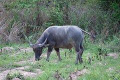 Detalle del búfalo de Tailandia Imágenes de archivo libres de regalías