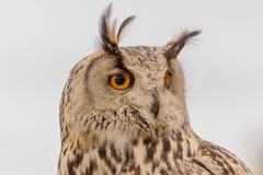 Detalle del búho con los ojos anaranjados Fotografía de archivo libre de regalías
