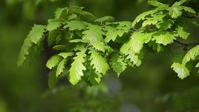Detalle del bosque, con las hojas jovenes del roble almacen de video
