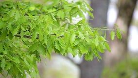 Detalle del bosque, con las hojas jovenes del roble almacen de metraje de vídeo