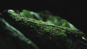 Detalle del bosque de Huilo Huilo, Chile almacen de video