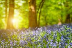 Detalle del bosque de la flor de la campanilla Imagenes de archivo