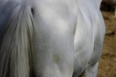 Detalle del caballo de raza Fotos de archivo libres de regalías
