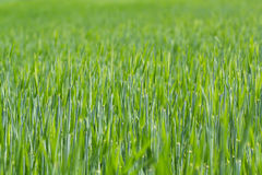 Detalle del campo con los granos verdes del resorte Fotos de archivo