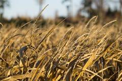 Detalle del campo de maíz del oro Imágenes de archivo libres de regalías