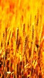 Detalle del campo de trigo Fotografía de archivo