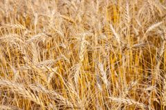 Detalle del campo de trigo de oro foto de archivo