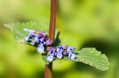 Detalle del catmint gigante - grandiflofa del Nepeta - con las flores azules Fotografía de archivo libre de regalías