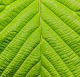 Detalle del cierre verde de la textura de la hoja encima del fondo Foto de archivo