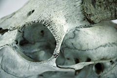 Detalle del cráneo de la cabra Fotos de archivo