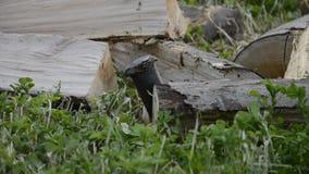 Detalle del enchufe de la madera de construcción que taja la leña con un hacha por invierno El cierre para arriba del leñador par metrajes