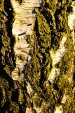 Detalle del extracto de la corteza de árbol Fotografía de archivo