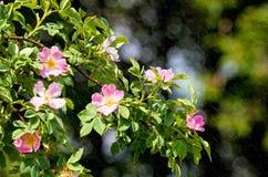 Detalle del flor del cynosbati de Fructus Imagen de archivo libre de regalías