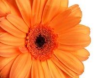 Detalle del gerber anaranjado Fotografía de archivo libre de regalías