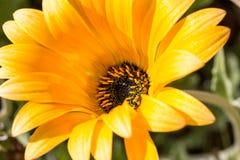 Detalle del gerbera amarillo con un centro negro 4 Fotos de archivo libres de regalías