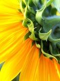 Detalle del girasol Imagen de archivo libre de regalías