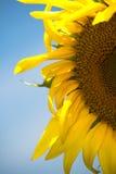 Detalle del girasol Foto de archivo libre de regalías