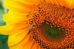 Detalle del girasol y la abeja Imagenes de archivo