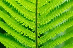 Detalle del helecho verde Foto de archivo