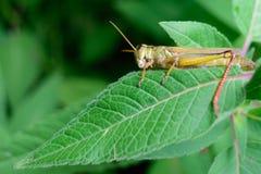 Detalle del insecto del saltamontes Foto de archivo libre de regalías